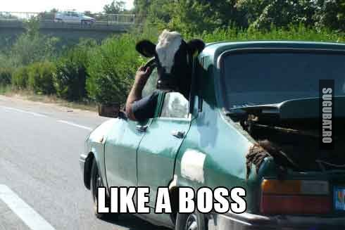 Vaca si Dacia - Transport Like a Boss